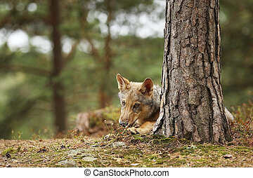 Eurasian wolf lying down in autumn forest - Canis lupus lupus