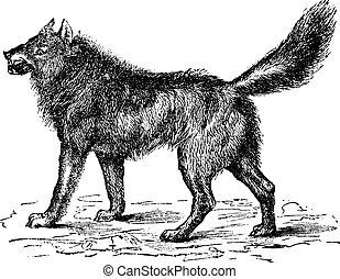 Eurasian Wolf or Canis lupus lupus vintage engraving