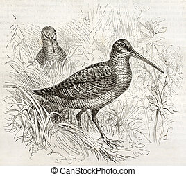 Eurasian Woodcock old illustration (Scolopax rusticola). ...