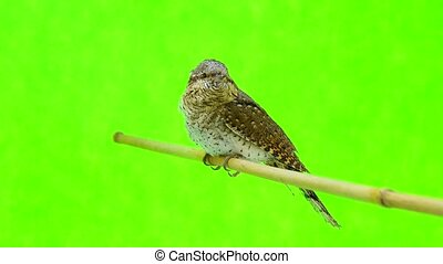 Eurasian wryneck (Jynx torquilla) isolated on a green...