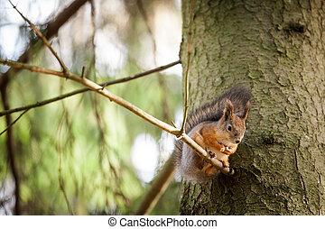 eurasien, arbre, écureuil, rouges