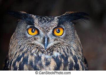 eurasien, (bubo, closeup, eagle-owl, bubo)