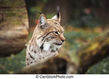 eurasien, forêt, lynx