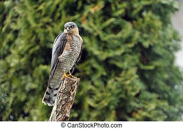 Eurasien sparrowhawk - A eurasien sparrowhawk observes his ...