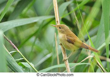 eurasier, reed-warbler