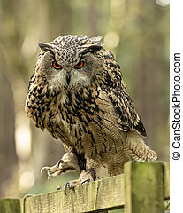 Eurasion Eagle Owl, in captivity