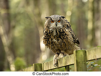 Eurasion Eagle Owl (Matilde)