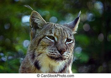 Euroasian lynx, portrait