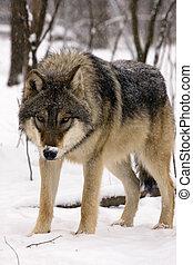 europäische , grauer wolf