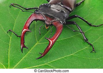 europäische , rehbock, lucanus, brauner, käfer, größten, cervus
