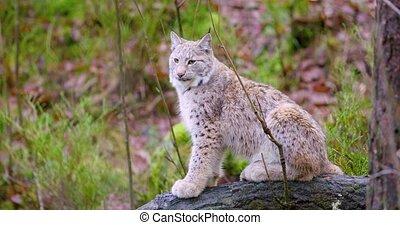 européen, chat, automne, petit, lynx, assied, forêt