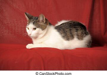 européen, fond blanc, rouges, court-d'une chevelure, chat, ...