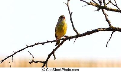européen, greenfinch