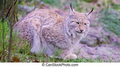 europeaan, lynx, kat, ligt, in, de, bos, op, vroeg, winter