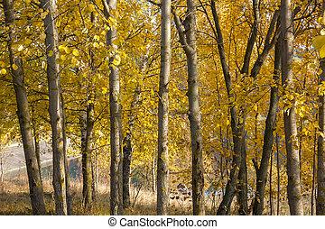 European aspen (Populus tremula) grove in autumn.