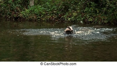 European Badger, meles meles, Adult running through Water,...
