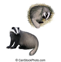 European badger sitting, Slipping badger Isolated on white...