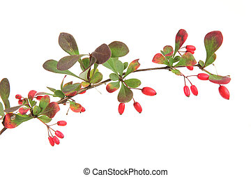 Little twig of barberry (Berberis vulgaris) with ripe fruits, in front of white background