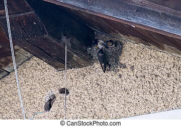 European Barn Swallow (Hirundo rustica) feeding babies in the nest