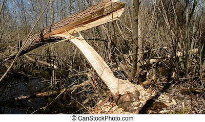European beaver demolished willow for nutrition