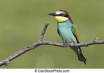 European bee-eater, Merops apiaster, single bird perched on ...