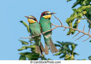 European Bee-Eater Pair (Merops Apiaster)