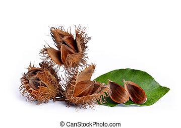 European beechnuts (Fagus sylvatica) isolated on white...