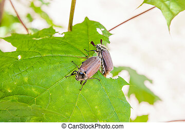 European beetle pest - common cockchafer (Melolontha) also...