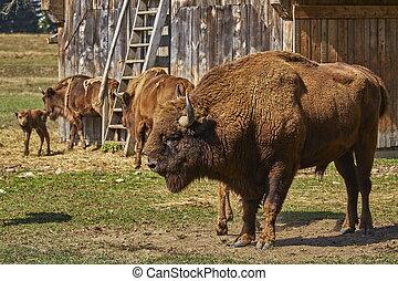 European bison bull and herd