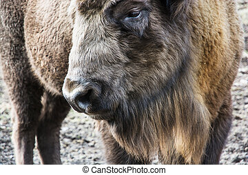 European bison close up portrait