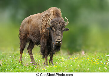 European bison in the summer meadow