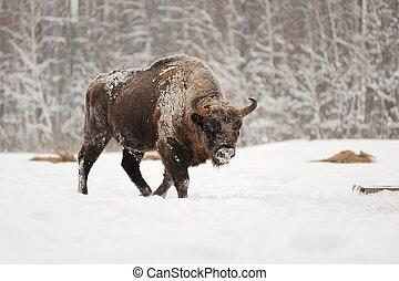 European bison male in winter forest