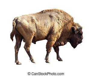 European bison over white - European bison (Bison bonasus)...
