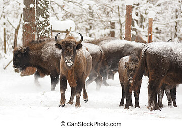 European bisons family in winter forest
