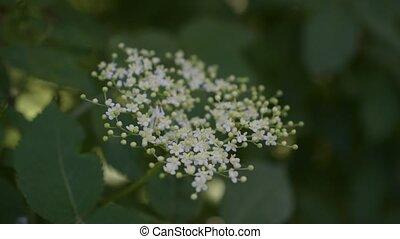 European black elder or elderberry flower blooming
