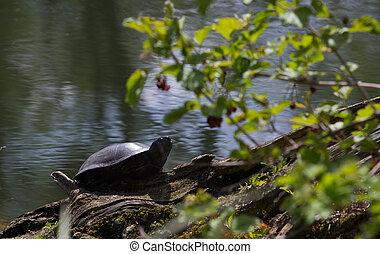 European bog turtle - Emys orbicularis. Wild life