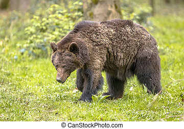 European brown bear foraging in forest habitat