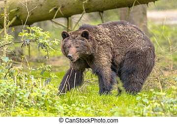 European brown bear in forest habitat