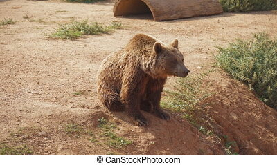 European brown bear in the national park.