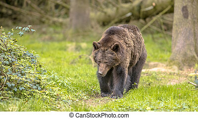 European brown bear walking in forest environment