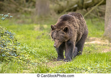 European brown bear walking in forest habitat