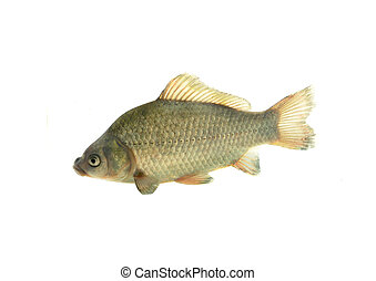 European carp - fish european carp on white background