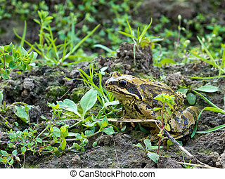 European common frog, rana temporaria, in side view