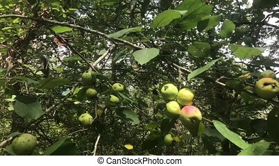 European Crab Apple, Malus Sylvestris - Fruits of European...