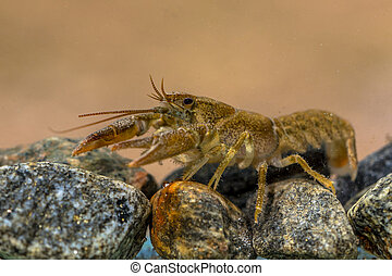 European crayfish (Astacus astacus) walking in river on rocky riverbed