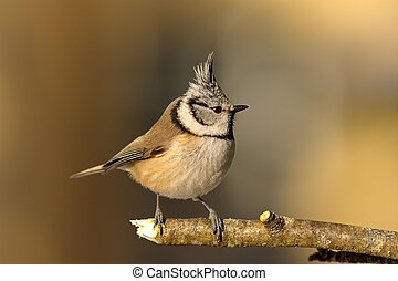 crested tit in the garden in winter