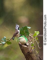 European crested tit(Lophophanes cristatus) at bird feeder