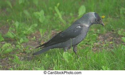 European crow raven Jackdaw on Summer Grass. The crow walks along lifestyle grass looking for food slow motion video. bird concept