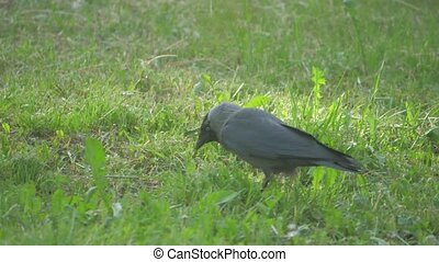 European crow raven Jackdaw on Summer Grass. The crow walks along grass looking for food slow motion video. bird lifestyle concept