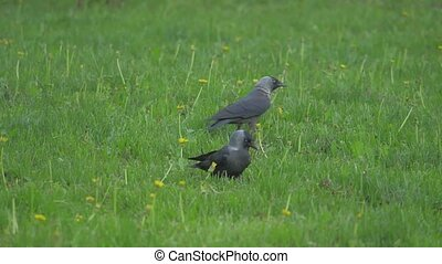 European crow raven Jackdaw on Summer Grass. The crow walks along the grass looking for food lifestyle slow motion video. bird concept